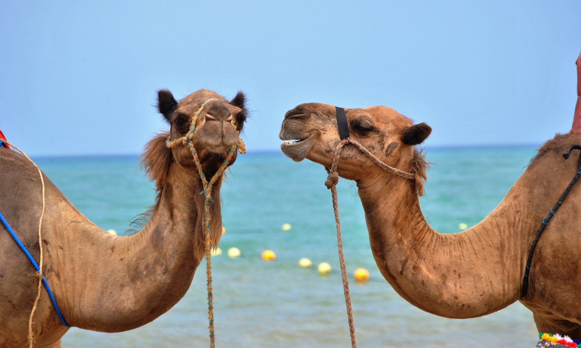 One camel staring at another camel, who is in existential distress